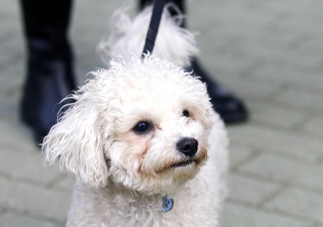 Prinsessan Maries gammelhund Apple var också en bichon frisé.