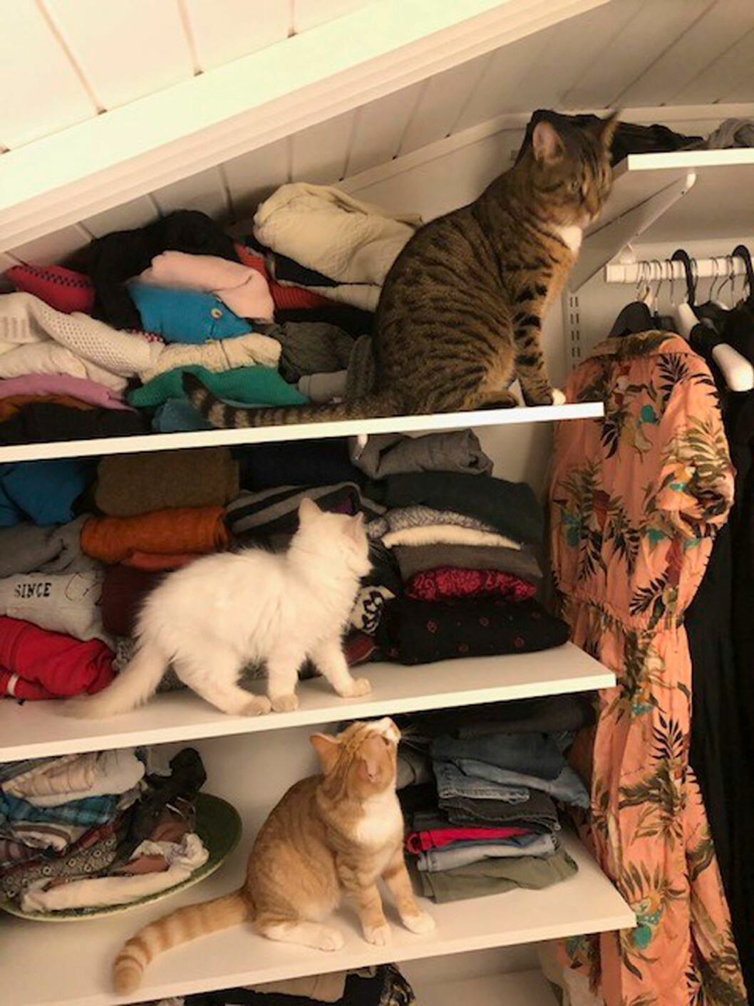 Fråga doktorns Karin Granbergs katter halvbengalen Ozzy, Elviz och Zigge.